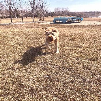 Cooper the Lovable Labradoodle on April 23 2020 dog grass outdoor