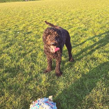 Dudleythelabradoodle on April 25 2020 dog grass outdoor and natur