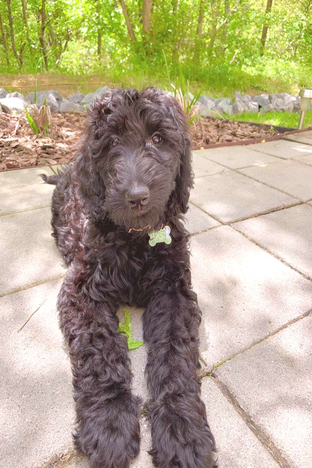 Basil The Double Doodle on April 20 2020 and 1 person dog tree ou