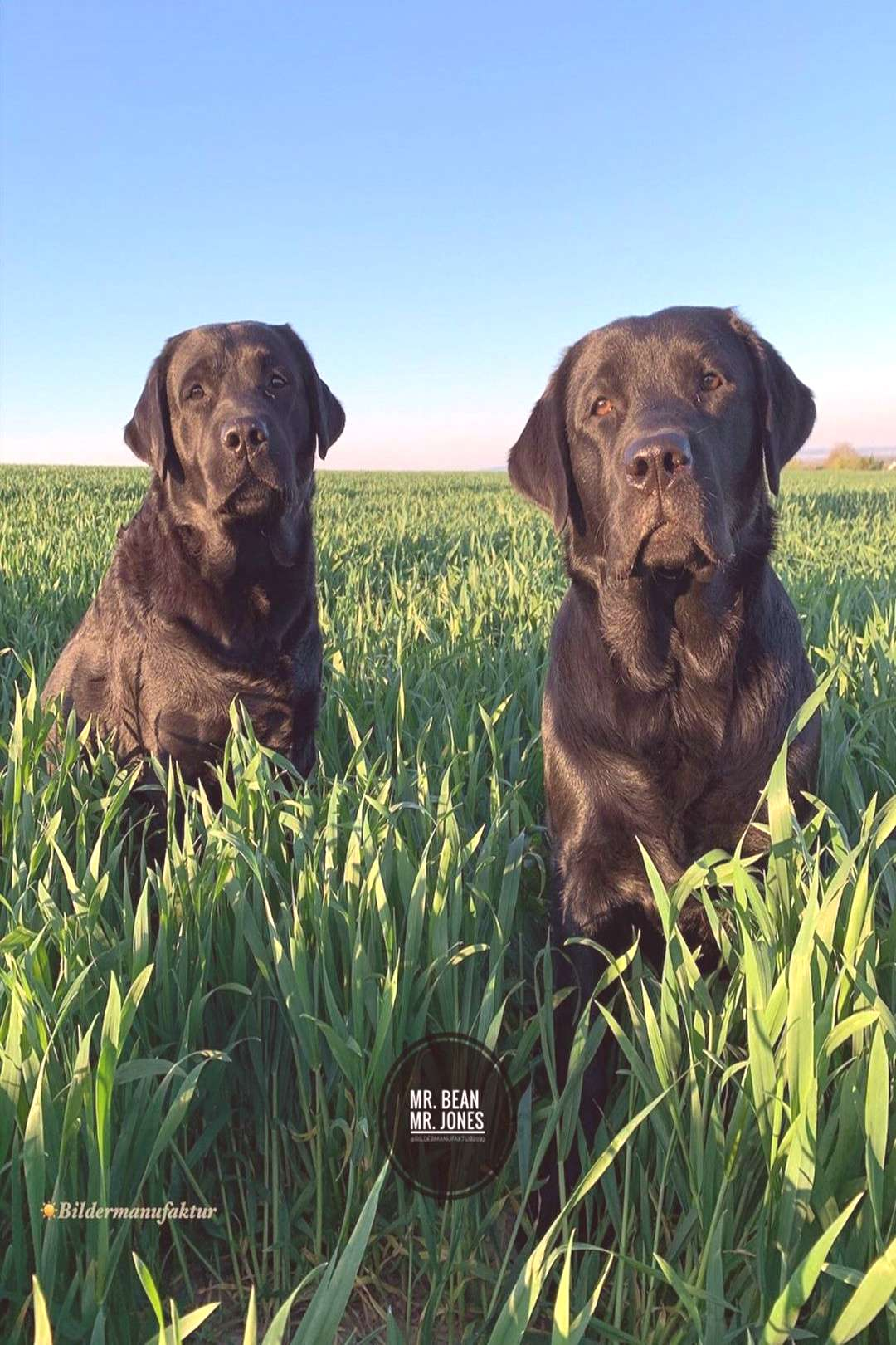 Black Labs Of The Day on April 21 2020 dog outdoor and nature