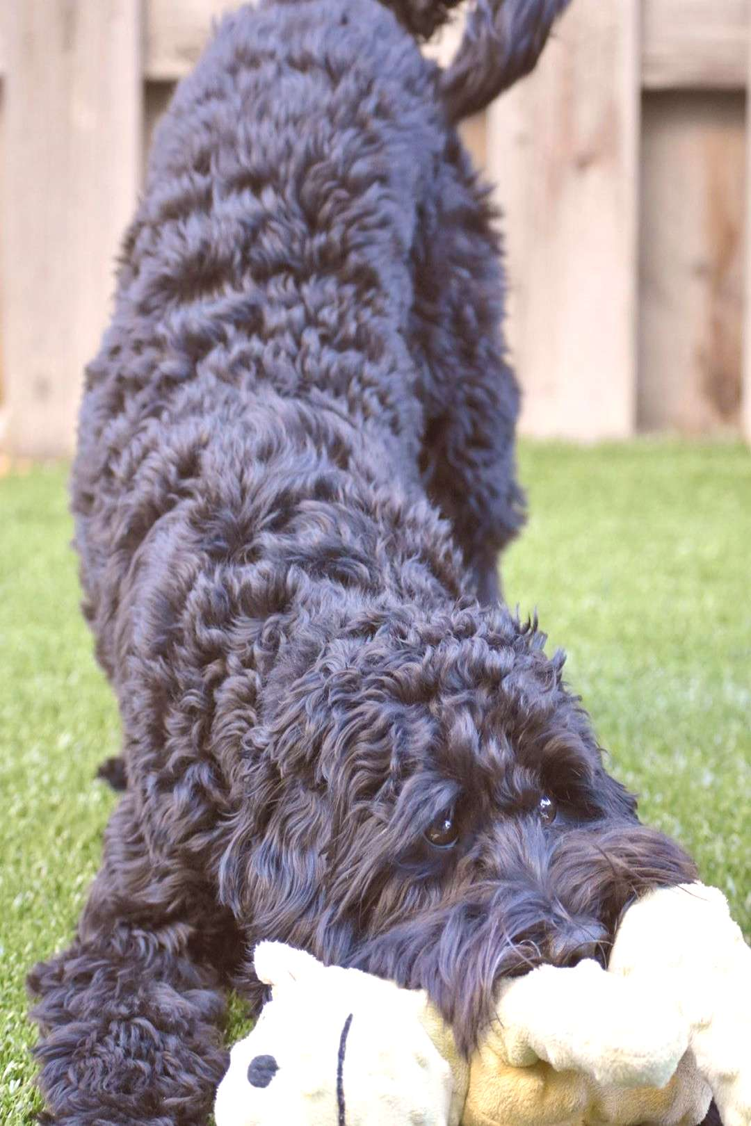 Bradley Cooper the Labradoodle on April 21 2020 dog and outdoor