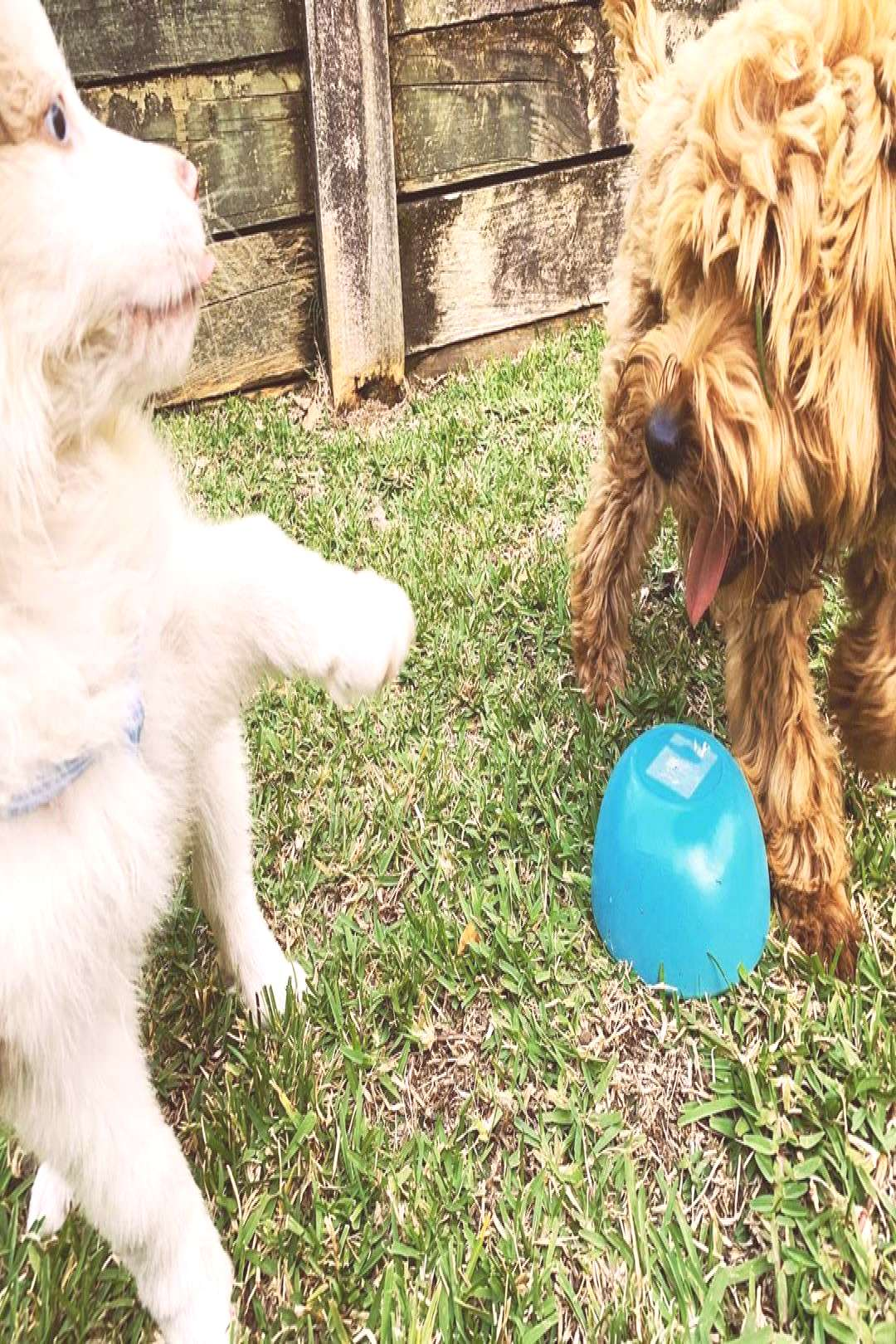 Chewbacca Chewie Wood on April 23 2020 dog grass outdoor and natu