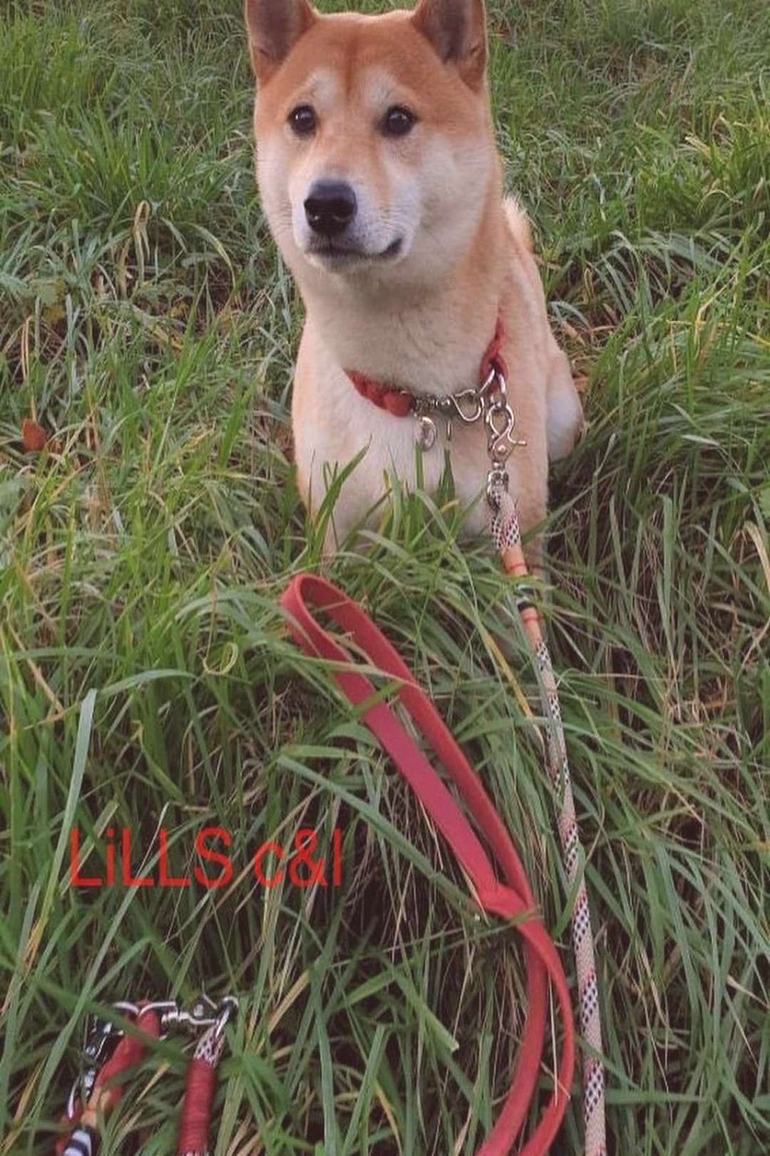 LiLLS collarsleashes on April 21 2020 1 person grass dog outdoor