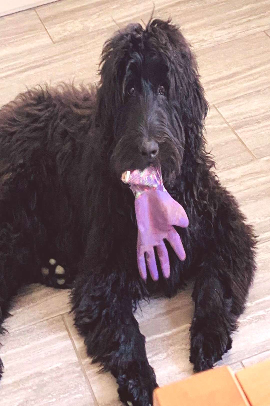 RagnarTheLabradoodle on April 21 2020 dog