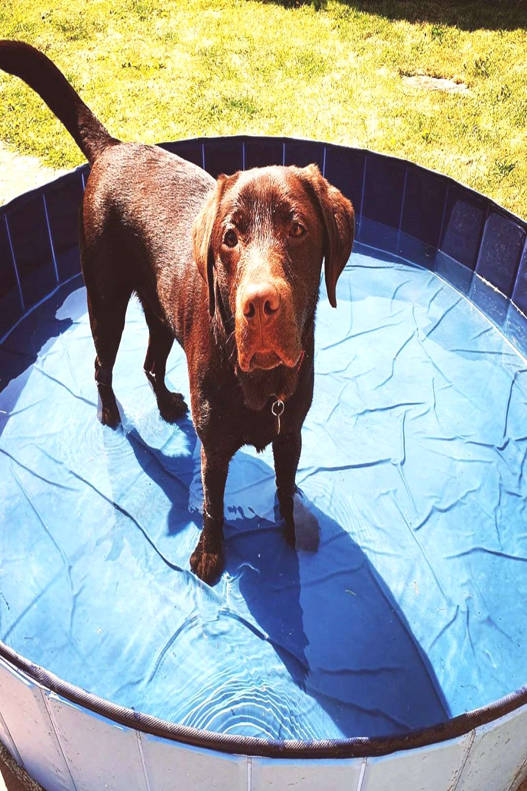 tucker the seaside labrador on April 23 2020 dog and outdoor